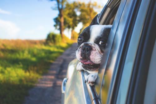 Lär hunden åka bil
